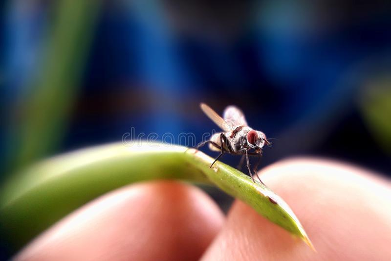 Μύγα σπιτιών σε ετοιμότητα μου στοκ εικόνες