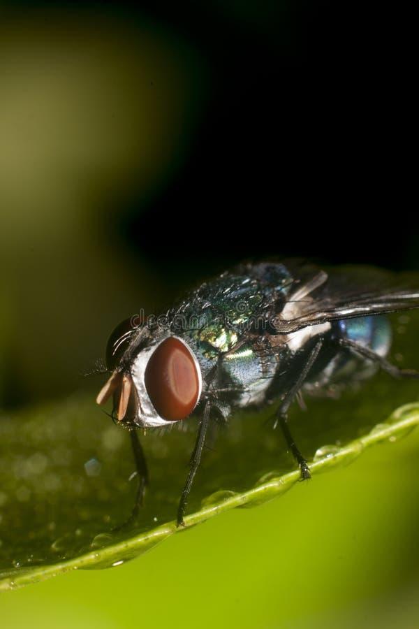 μύγα στα πράσινα φύλλα στοκ εικόνες με δικαίωμα ελεύθερης χρήσης