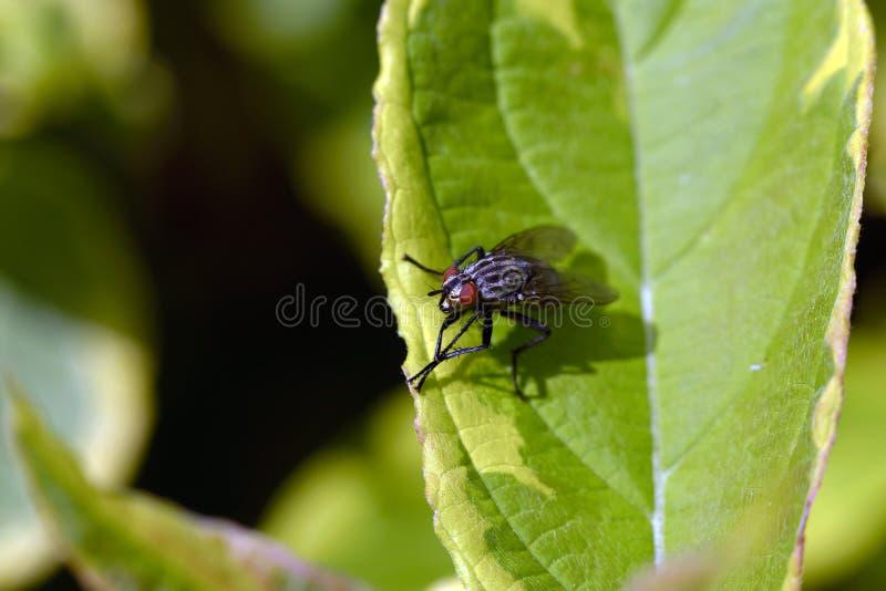 Μύγα στην πράσινη άδεια στοκ εικόνες με δικαίωμα ελεύθερης χρήσης
