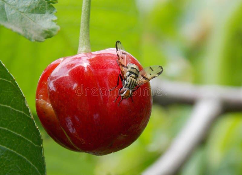Μύγα στο κεράσι στοκ εικόνα με δικαίωμα ελεύθερης χρήσης