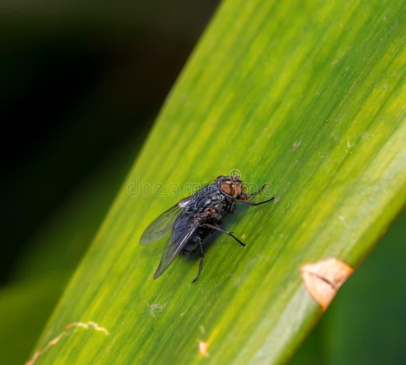Μύγα στο πράσινο φύλλο στοκ εικόνα