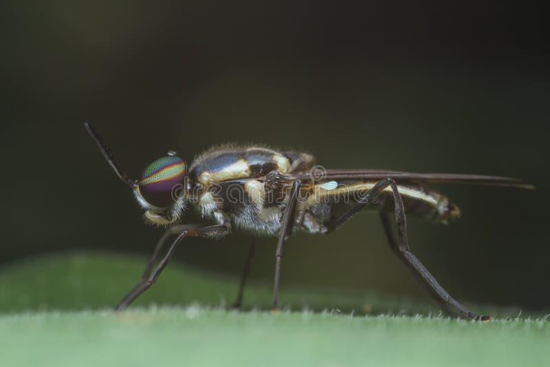 Μύγα στρατιωτών στο πράσινο φύλλο στοκ εικόνες