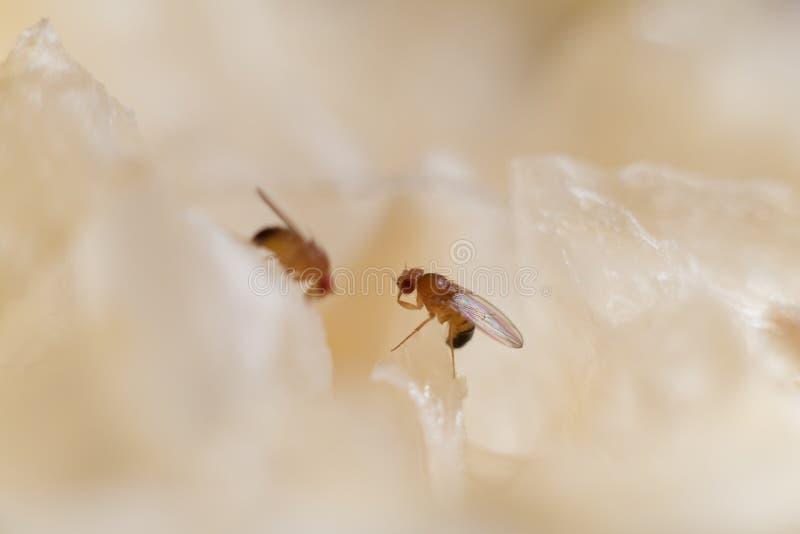 Μύγα φρούτων στοκ φωτογραφίες