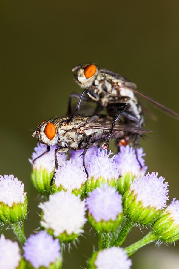Μύγα χτυπήματος, μύγα, μύγες ingraft στο λουλούδι στοκ εικόνα