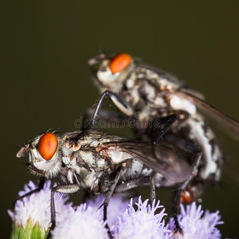 Μύγα χτυπήματος, μύγα, μύγες ingraft στο λουλούδι στοκ εικόνες