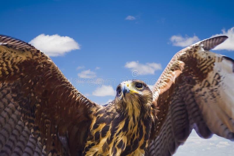 Μύγα όπως έναν αετό στοκ εικόνα με δικαίωμα ελεύθερης χρήσης