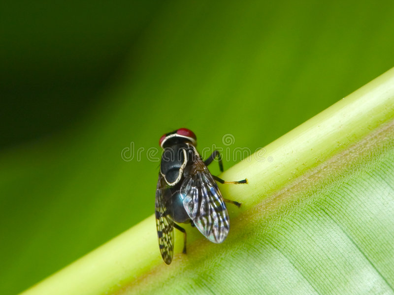 Download μύγα στοκ εικόνες. εικόνα από μακροεντολή, μύγα, φύση, ενισχύστε - 110740
