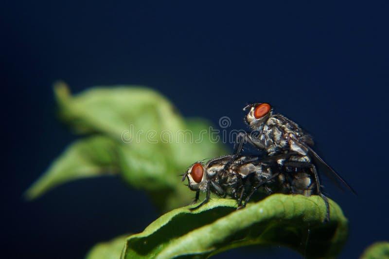 Μύγα Copulating στοκ εικόνες