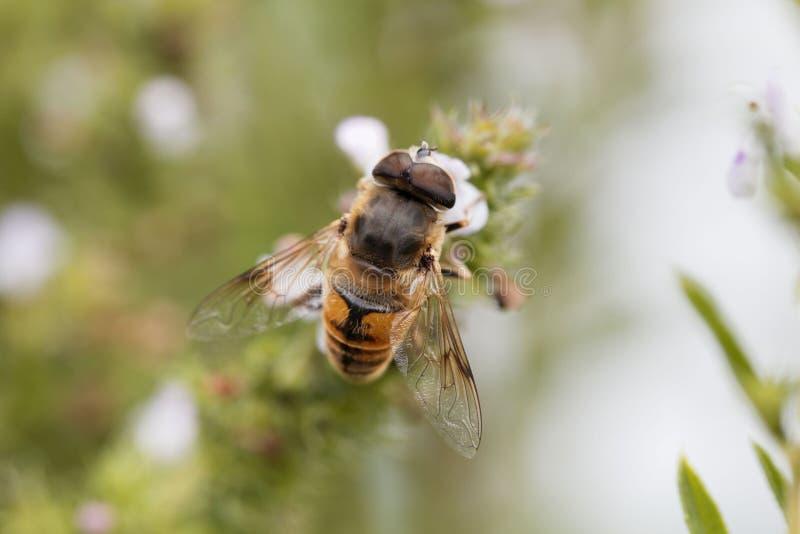 Μύγα Eristalis tenax κηφήνων, σε ένα λουλούδι στοκ φωτογραφίες