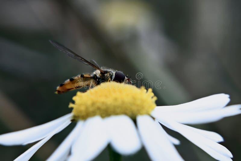 Μύγα Fower σε Chamomile στοκ φωτογραφία