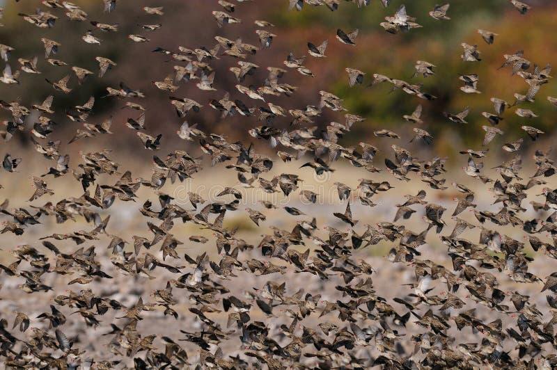 Μύγα quelea Redbilled επάνω στοκ φωτογραφίες