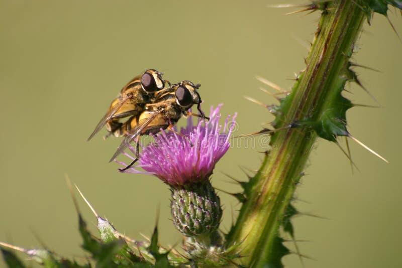 μύγες δύο Στοκ Φωτογραφία