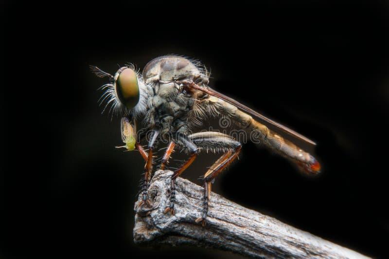 Μύγες ληστών στοκ εικόνες