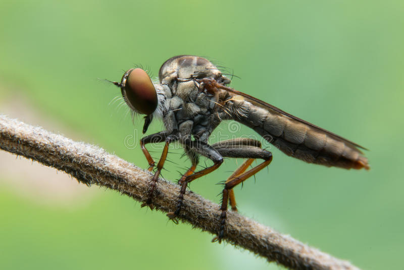 Μύγες ληστών στοκ φωτογραφία με δικαίωμα ελεύθερης χρήσης