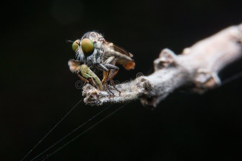 Μύγες ληστών στοκ εικόνα με δικαίωμα ελεύθερης χρήσης
