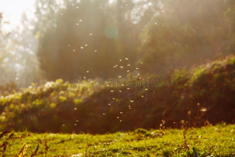 Μύγες και κουνούπια επάνω από τον τομέα στο backlight του ήλιου βραδιού στοκ φωτογραφία με δικαίωμα ελεύθερης χρήσης