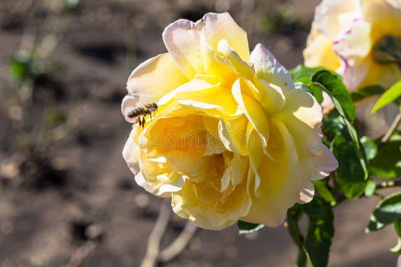 μύγες μελισσών στο κίτρινο ροδαλό λουλούδι στον κήπο στοκ εικόνα με δικαίωμα ελεύθερης χρήσης