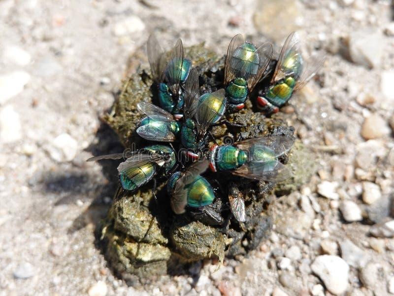 Μύγες Calliphoridae στα περιττώματα στοκ φωτογραφία με δικαίωμα ελεύθερης χρήσης