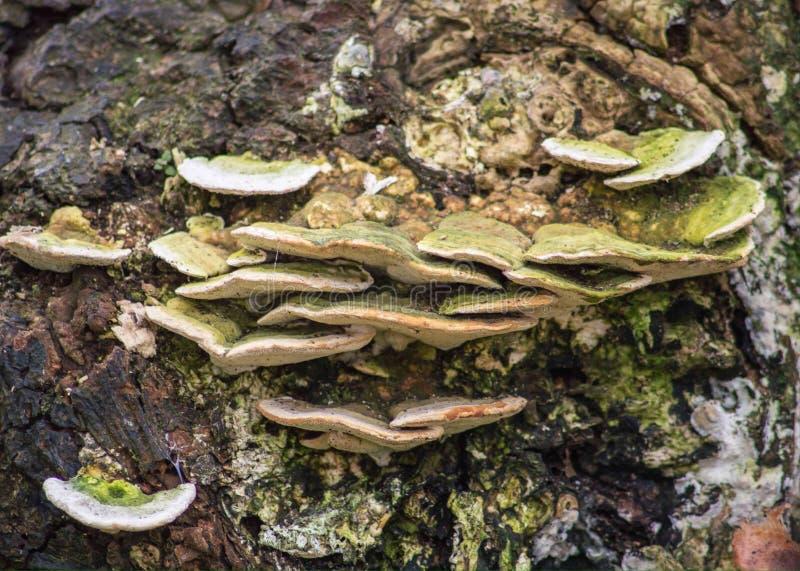 Μύκητας δέντρων στοκ φωτογραφία με δικαίωμα ελεύθερης χρήσης