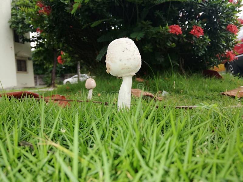 Μύκητας μανιταριών στοκ φωτογραφία