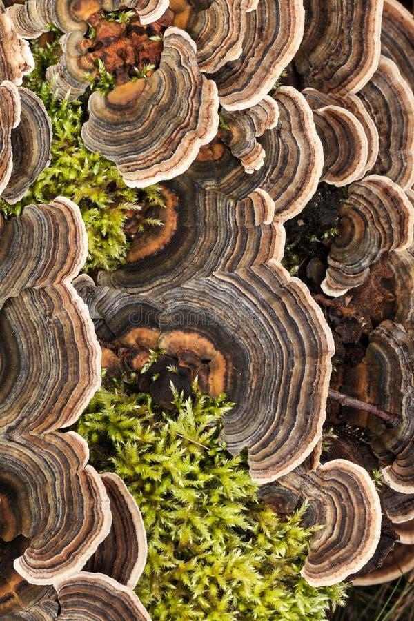 Μύκητας ουρών Urkey στοκ φωτογραφία