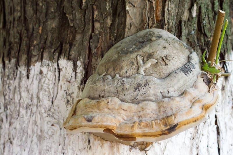 Μύκητας ραφιών στον κορμό δέντρων στοκ φωτογραφία