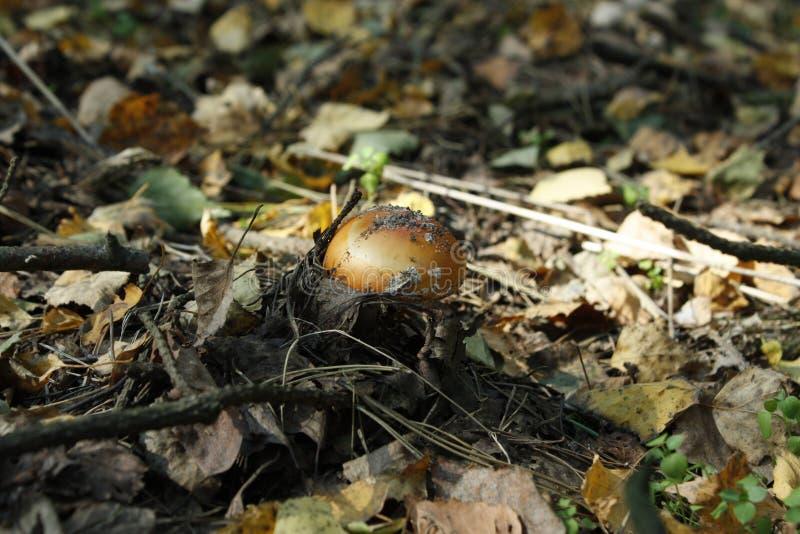 Μύκητες, Μανιτάρια, Βρώσιμα Μανιτάρια, Αγαρικομυκητές στοκ φωτογραφία με δικαίωμα ελεύθερης χρήσης