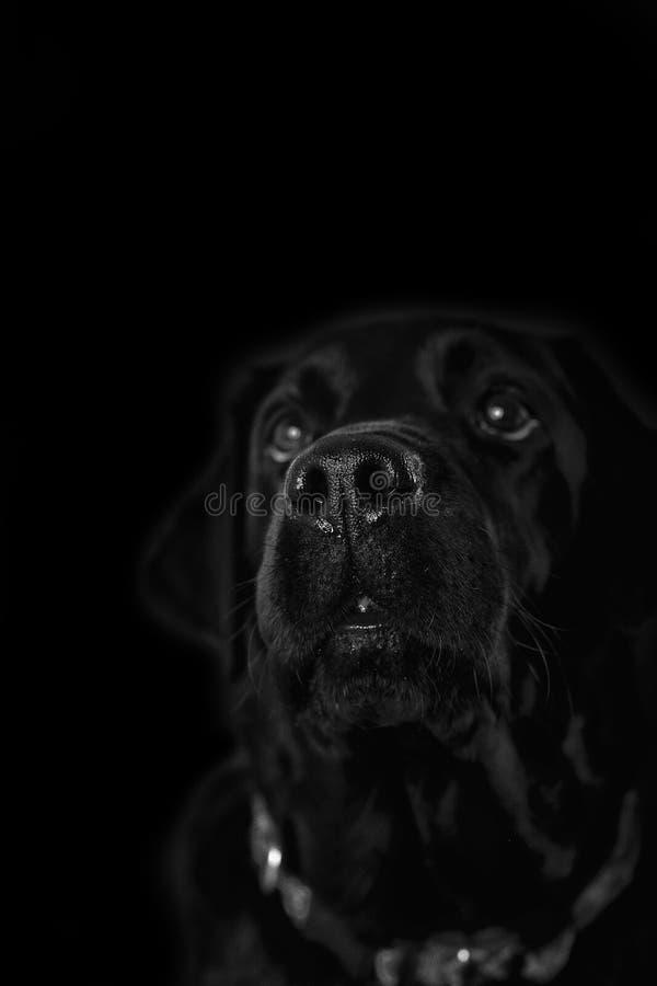 Μύτη του μαύρου Λαμπραντόρ - επικεφαλής-πυροβολισμός στοκ φωτογραφίες με δικαίωμα ελεύθερης χρήσης