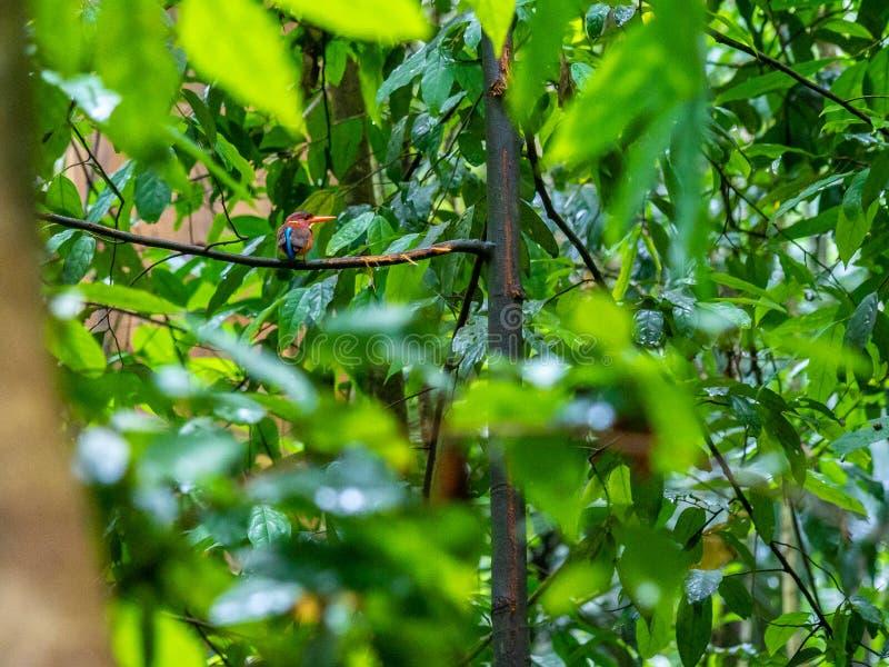 Νάνα αλκυόνη Sulawesi, Ceyx fallax Επιφύλαξη Tangkoko, ο Βορράς Sulawesi στοκ εικόνες