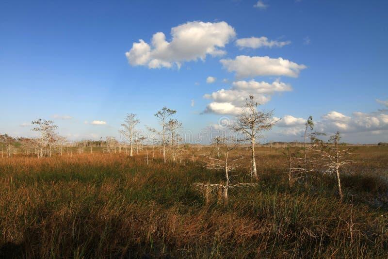 Νάνα δέντρα κυπαρισσιών στο εθνικό πάρκο Everglades στοκ φωτογραφία