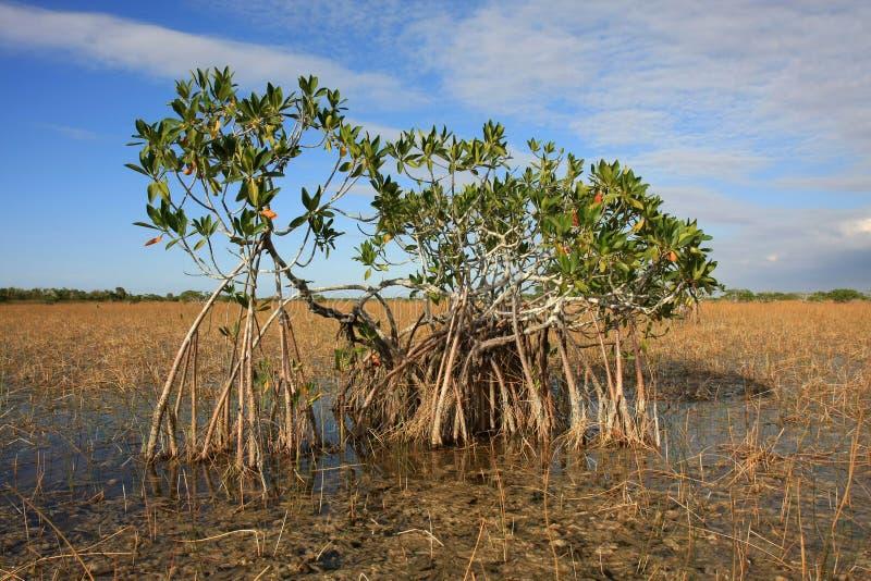 Νάνα δέντρα μαγγροβίων του εθνικού πάρκου Everglades, Φλώριδα στοκ εικόνα με δικαίωμα ελεύθερης χρήσης