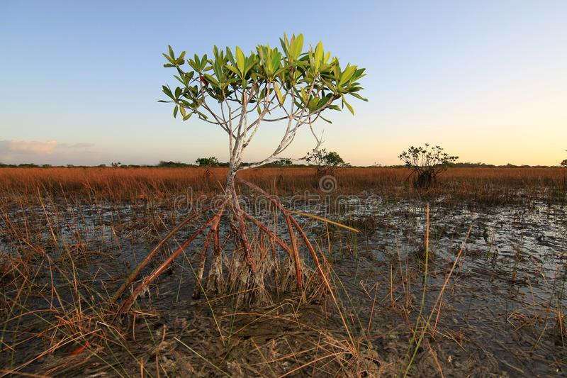 Νάνα δέντρα μαγγροβίων του εθνικού πάρκου Everglades, Φλώριδα στοκ φωτογραφίες