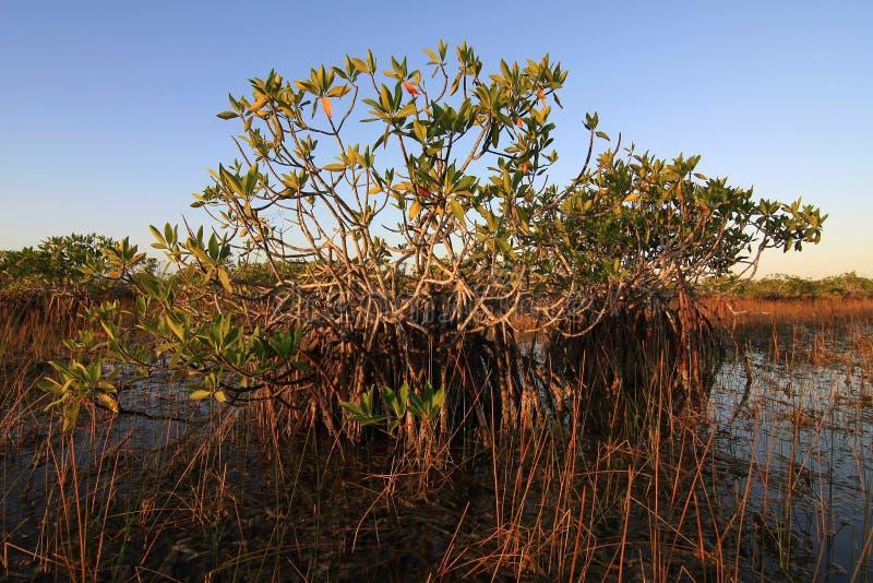 Νάνα δέντρα μαγγροβίων του εθνικού πάρκου Everglades, Φλώριδα στοκ εικόνες