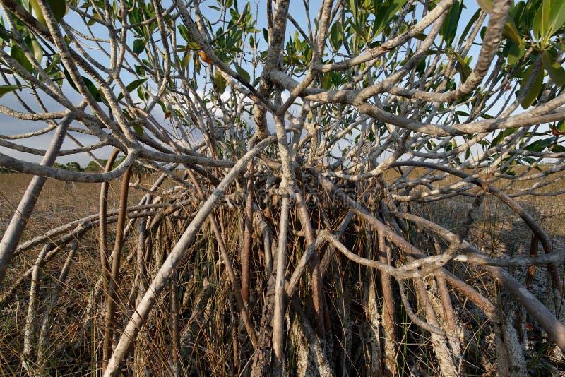 Νάνα δέντρα μαγγροβίων του εθνικού πάρκου Everglades, Φλώριδα στοκ εικόνες με δικαίωμα ελεύθερης χρήσης