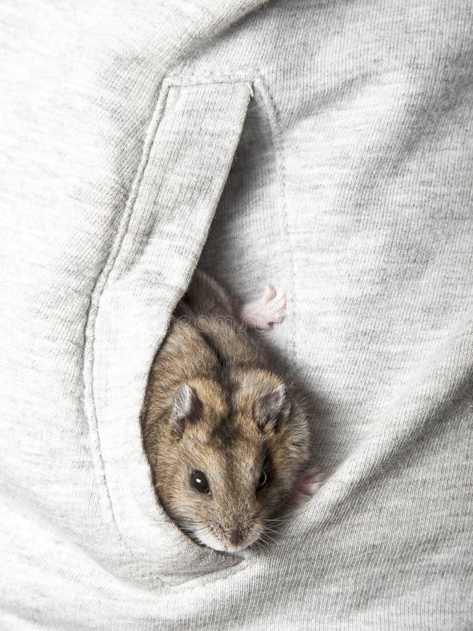 Νάνα χάμστερ σε μια τσέπη στοκ εικόνα