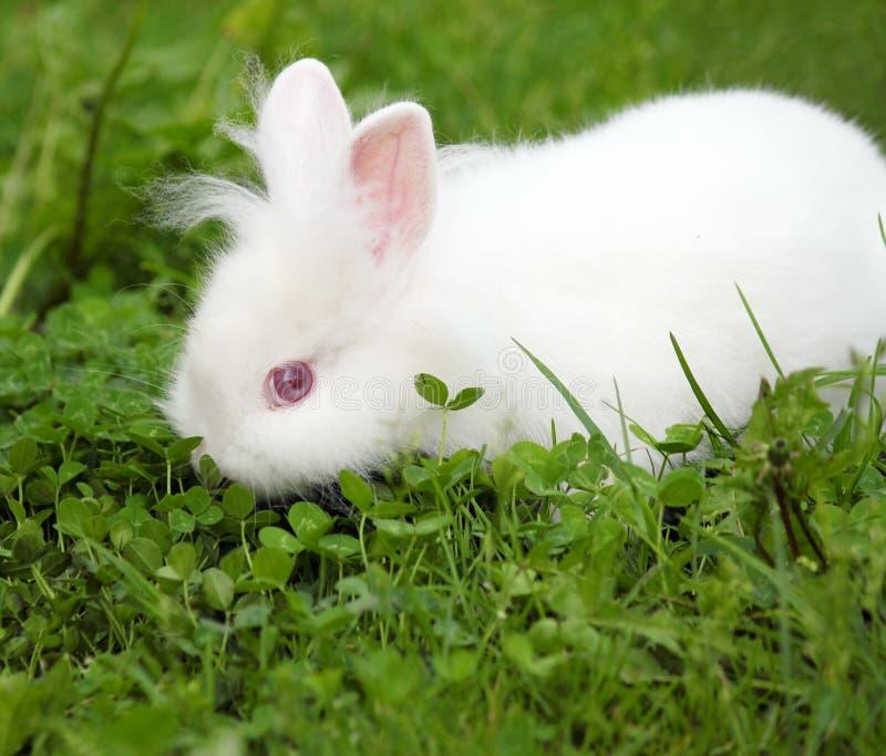 Νάνο άσπρο bunny στοκ φωτογραφίες