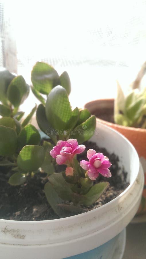 Νάνο λουλούδι στοκ εικόνες