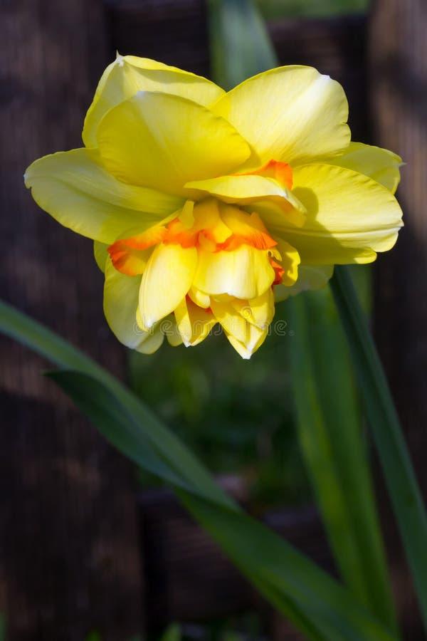 Νάρκισσοι ή daffodil Ταϊτή στοκ φωτογραφία με δικαίωμα ελεύθερης χρήσης