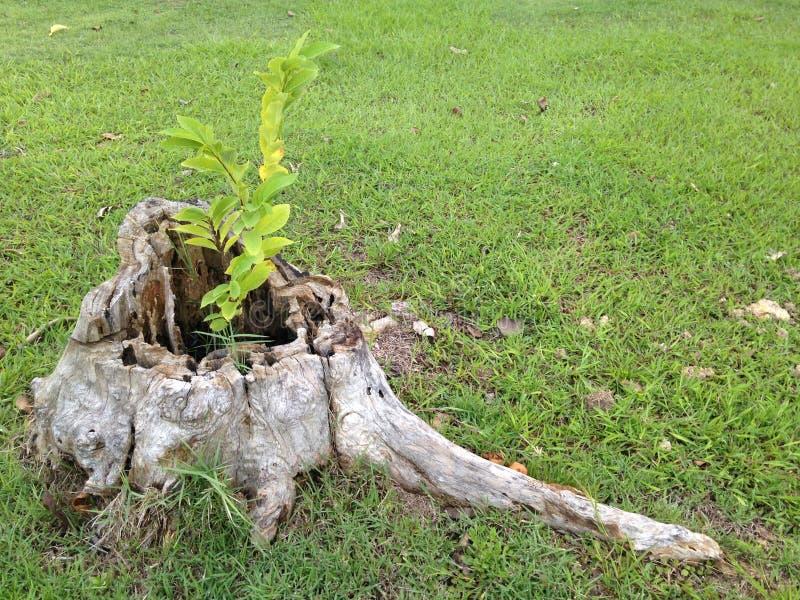 Νέα ανάπτυξη εγκαταστάσεων πέρα από το νεκρό κολόβωμα δέντρων στοκ εικόνα με δικαίωμα ελεύθερης χρήσης