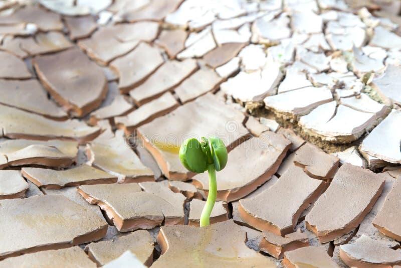 Νέα ανάπτυξη νεαρών βλαστών στο ραγισμένο έδαφος στοκ φωτογραφία