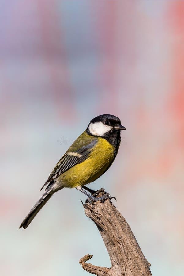 Νέα αρσενική αναφερόμενη στα πτηνά συνεδρίαση μπλε-tit-μπλε στο κομμάτι του ξηρού ξύλου στοκ εικόνα με δικαίωμα ελεύθερης χρήσης