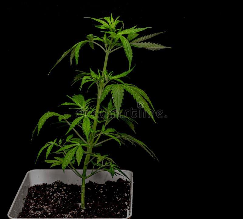 Νέα αυτόματη ποικιλία Glueberry της μαριχουάνα με το μαύρο υπόβαθρο στοκ φωτογραφία με δικαίωμα ελεύθερης χρήσης