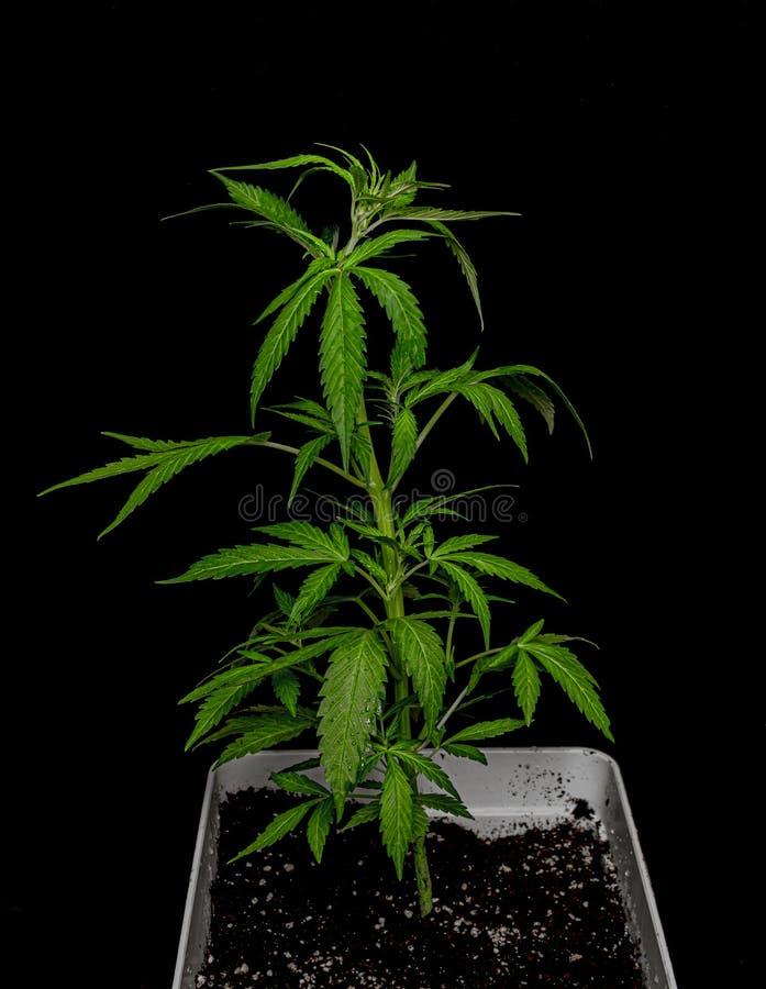 Νέα αυτόματη ποικιλία Glueberry της μαριχουάνα με το μαύρο υπόβαθρο στοκ εικόνες
