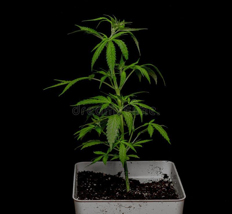 Νέα αυτόματη ποικιλία Glueberry της μαριχουάνα με το μαύρο υπόβαθρο στοκ φωτογραφία