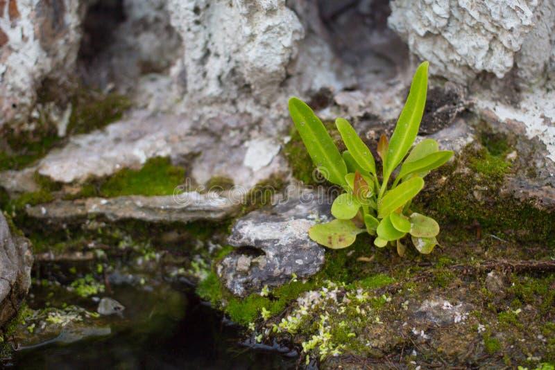 Νέα αύξηση αρχής δέντρων ζωής στο βράχο στοκ εικόνα