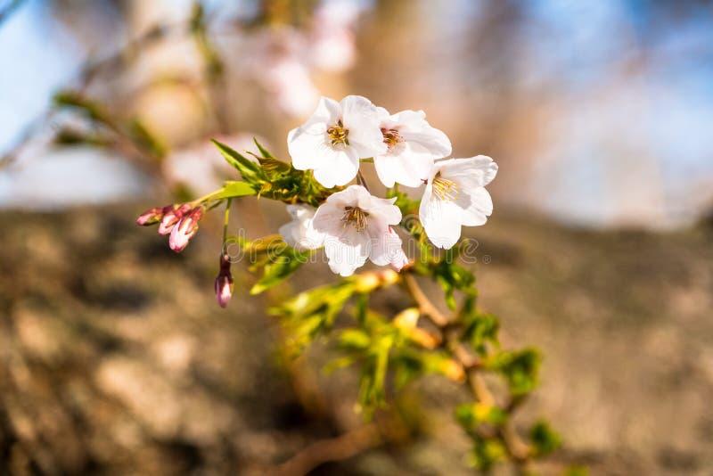 Νέα αύξηση των ανθών κερασιών στον κορμό δέντρων στοκ φωτογραφία