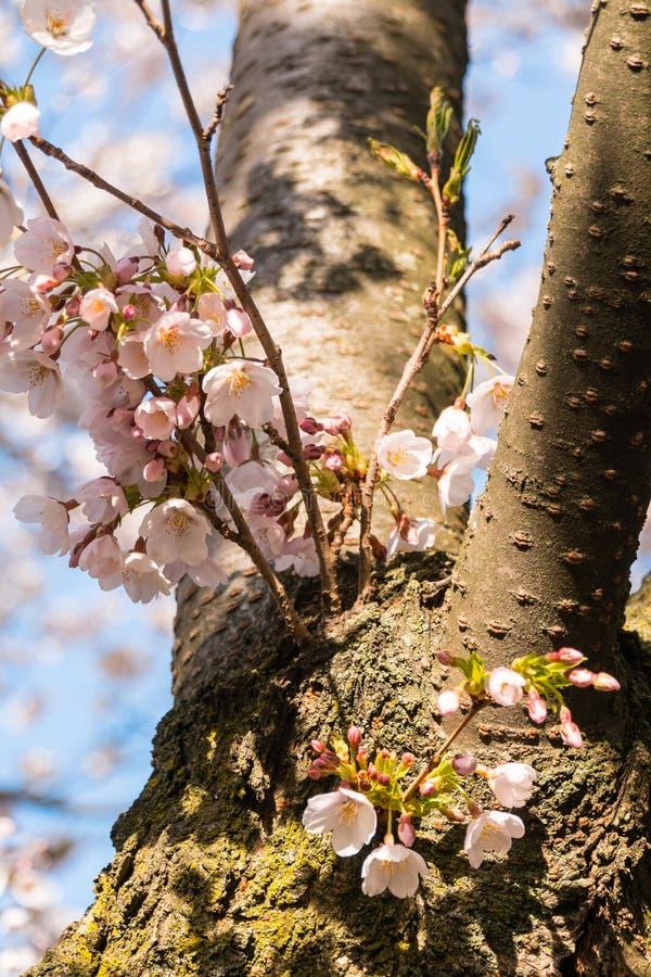 Νέα αύξηση των ανθών κερασιών στον κορμό δέντρων στοκ φωτογραφία με δικαίωμα ελεύθερης χρήσης