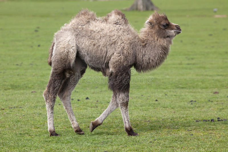 Νέα βακτριανή καμήλα στοκ φωτογραφίες