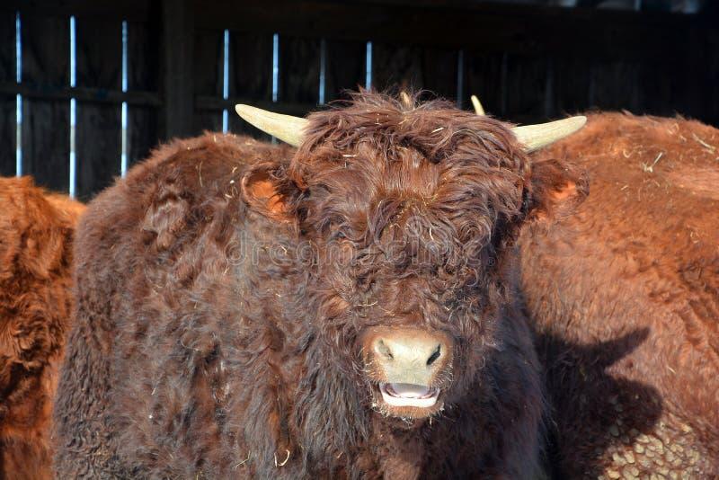 Νέα βοοειδή ορεινών περιοχών στοκ εικόνες με δικαίωμα ελεύθερης χρήσης