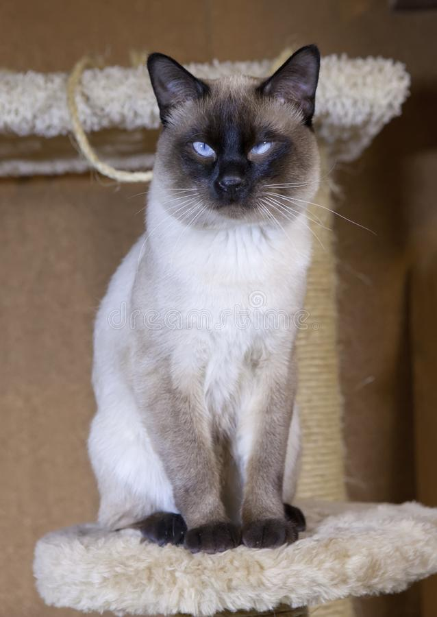 Νέα γάτα, γατάκι της ασιατικής φυλής του Σιάμ, bobtail Mekong στοκ φωτογραφία με δικαίωμα ελεύθερης χρήσης